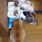猫の性格三者三様 多頭飼いは楽しい