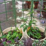 初心者のクレマチス栽培