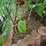 ブラックキャット(タッカシャントリエリ)栽培、始めました 2